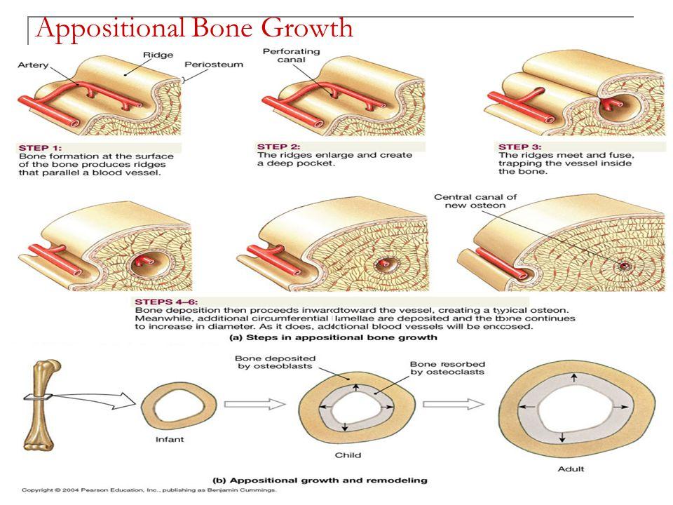 The Skeletal System: Bone Tissue Chapter 6