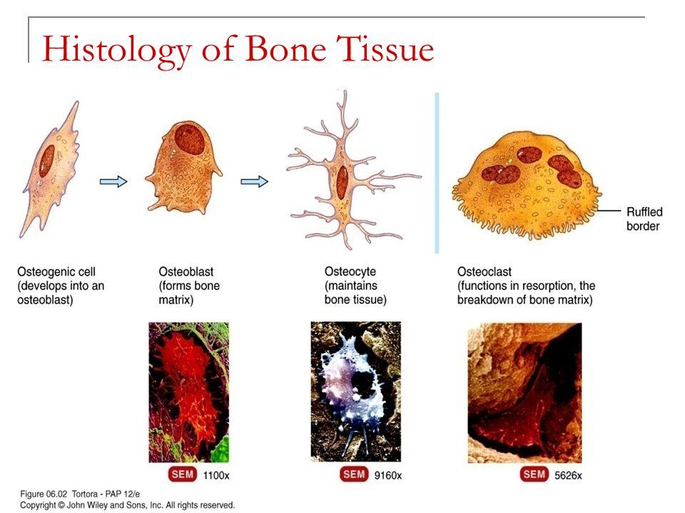 The Skeletal System: Bone Tissue Chapter 6 - ppt video online download