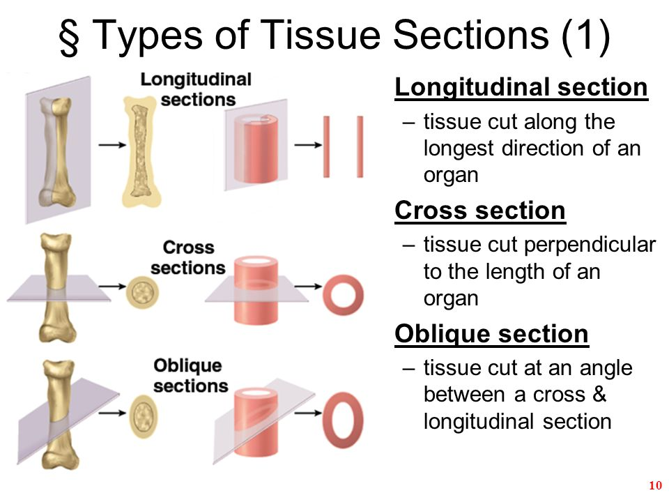 Fine Longitudinal Section Anatomy Mold Anatomy And Physiology