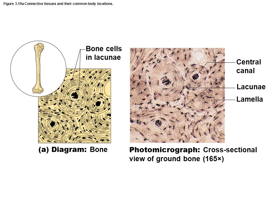 Figure 3.19a Connective tissues and their common body locations.