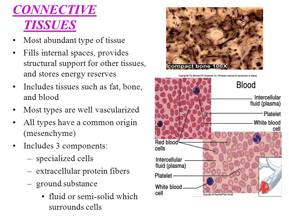 CONNECTIVE TISSUES Most abundant type of tissue