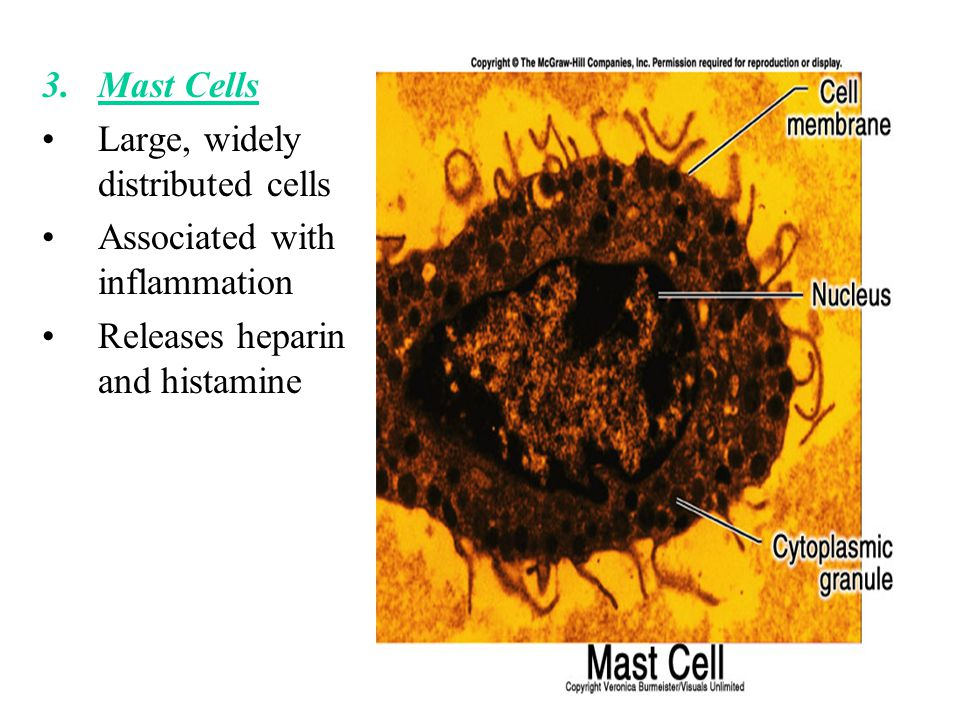 Mast Cells Large, widely distributed cells. Associated with inflammation.