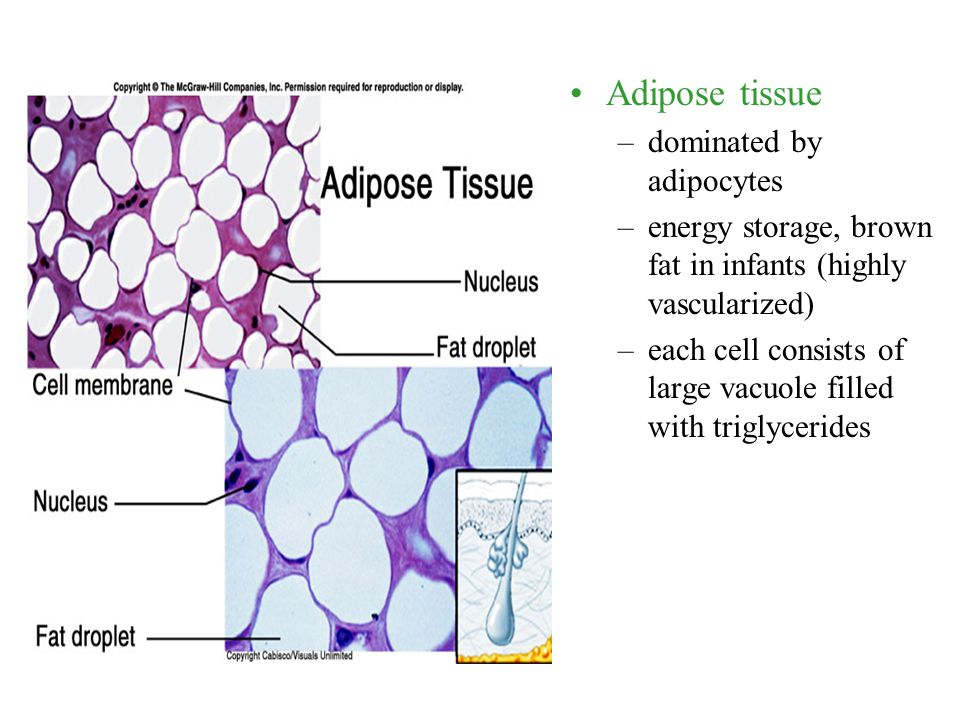 Adipose tissue dominated by adipocytes