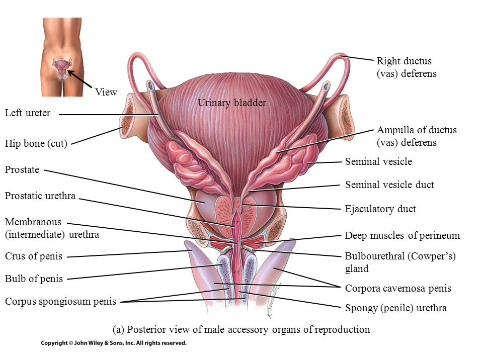 Which of the following statements concerning the uterine tube is true A The outer layer of the tube is formed by the ampulla B The oocyte is moved along the tube