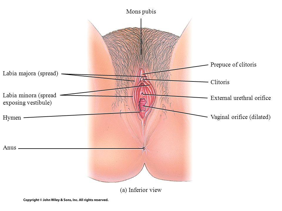 Average vaginal orifice size