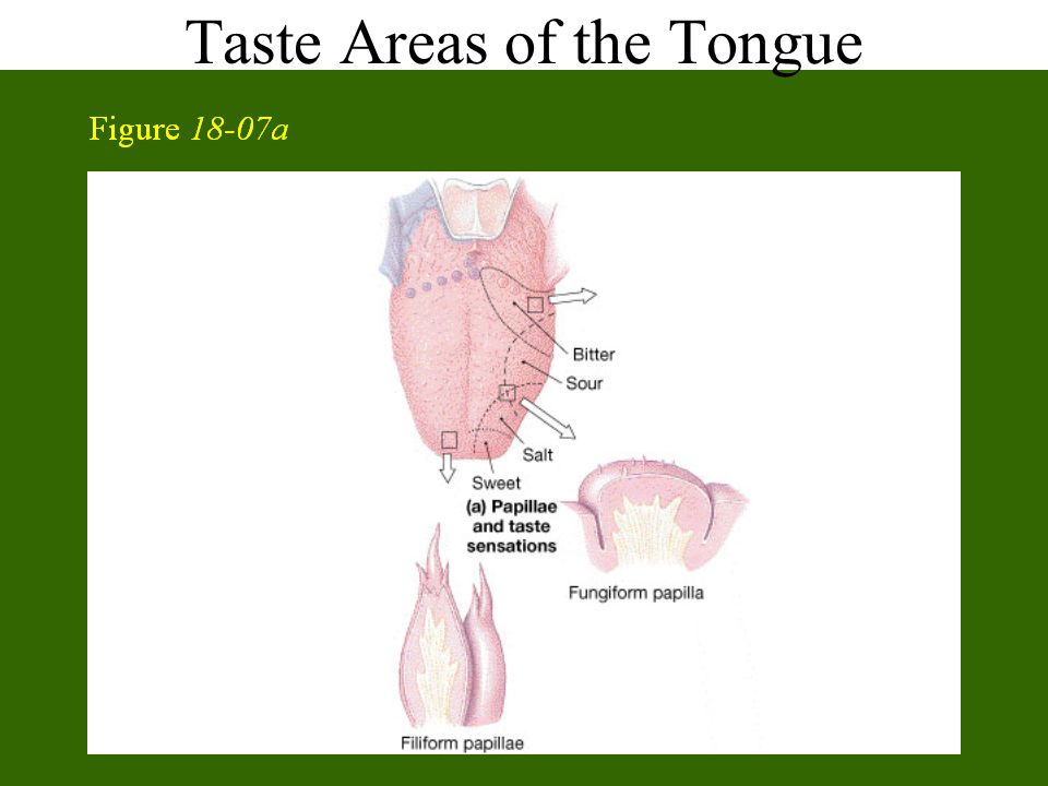 Taste Areas of the Tongue