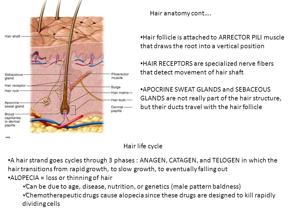 Outstanding Anatomy Of Hair Follicle Image Anatomy And Physiology