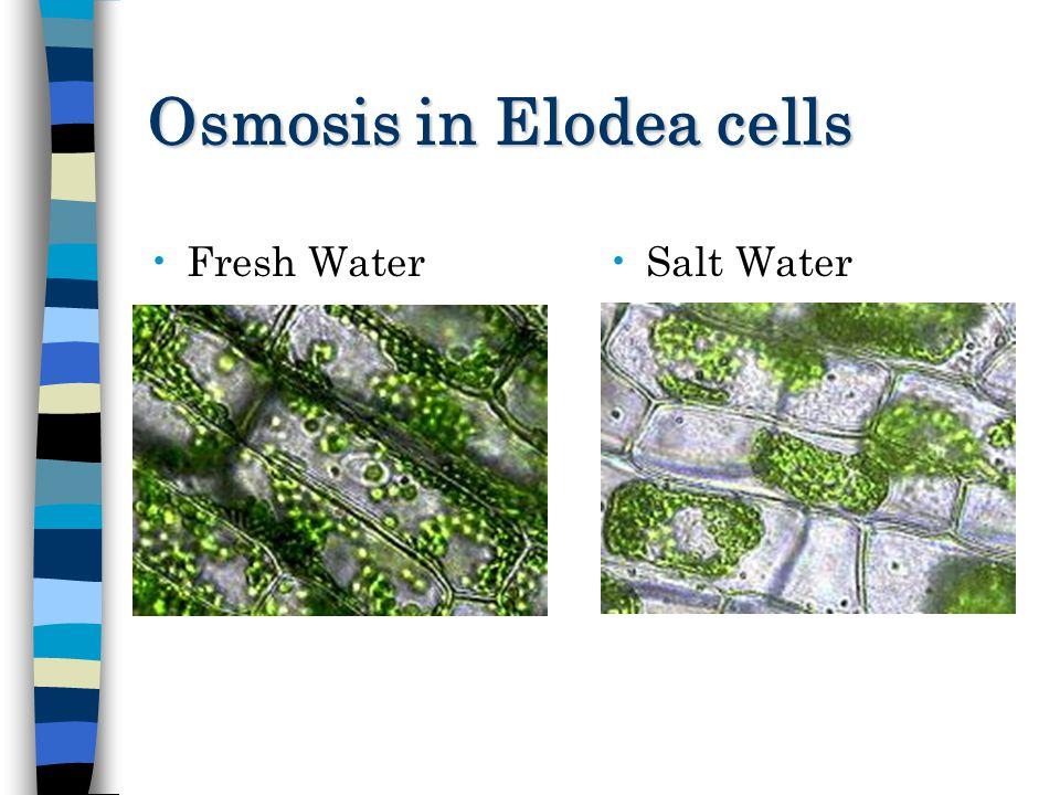 Elodea Cell In Salt Water Water Ionizer