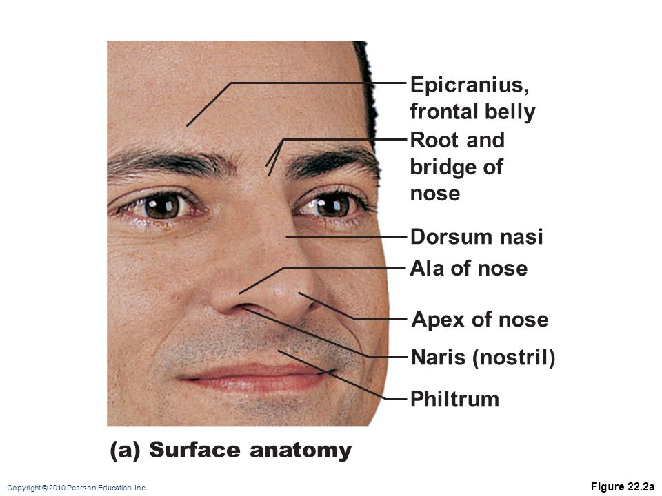 Beautiful Facial Surface Anatomy Sketch Anatomy And Physiology