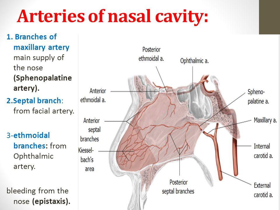 Nice Internal Maxillary Artery Anatomy Festooning - Anatomy And ...