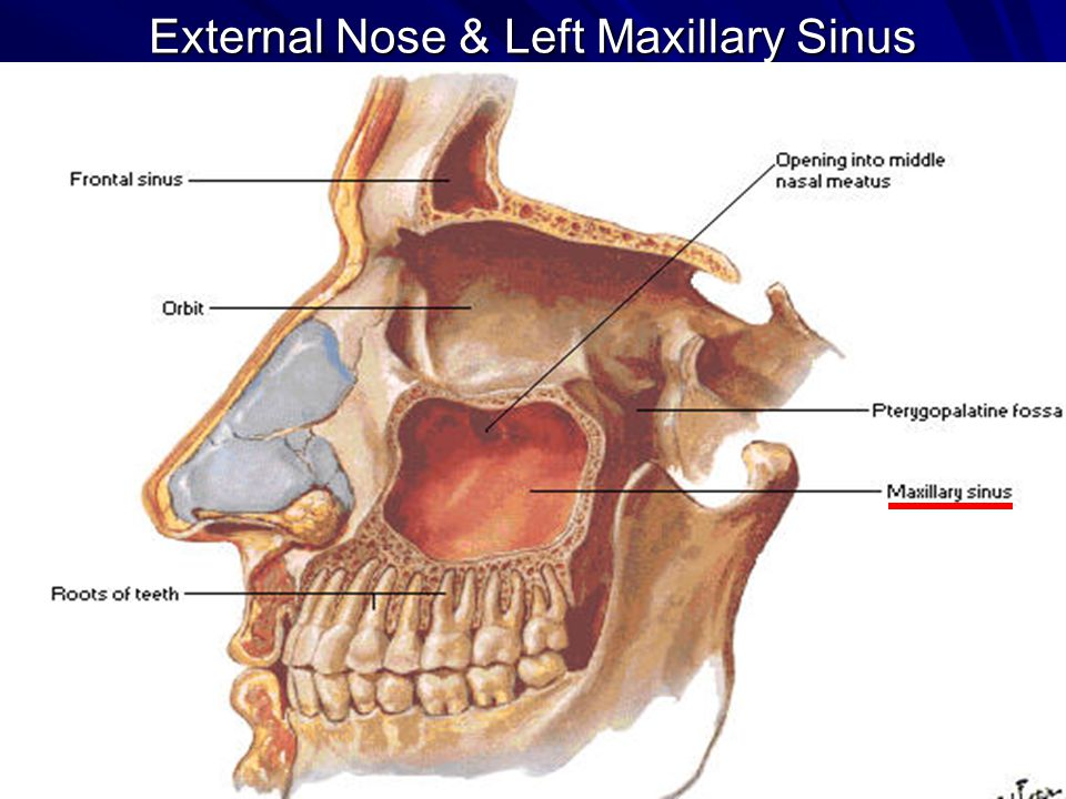 GROSS ANATOMY OF THE NASAL CAVITY & THE PHARYNX - ppt video online ...