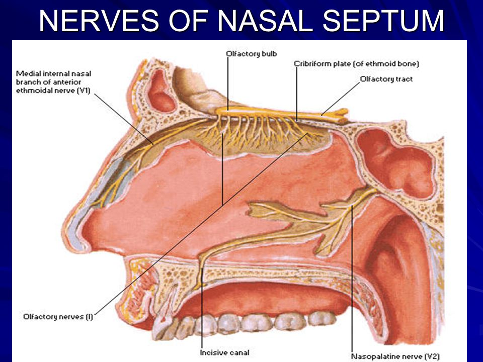 Gross Anatomy Of The Nasal Cavity The Pharynx Ppt Video Online