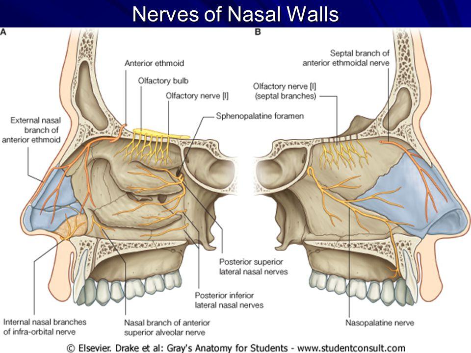 Gross Anatomy Of The Nasal Cavity The Pharynx Ppt Video Online