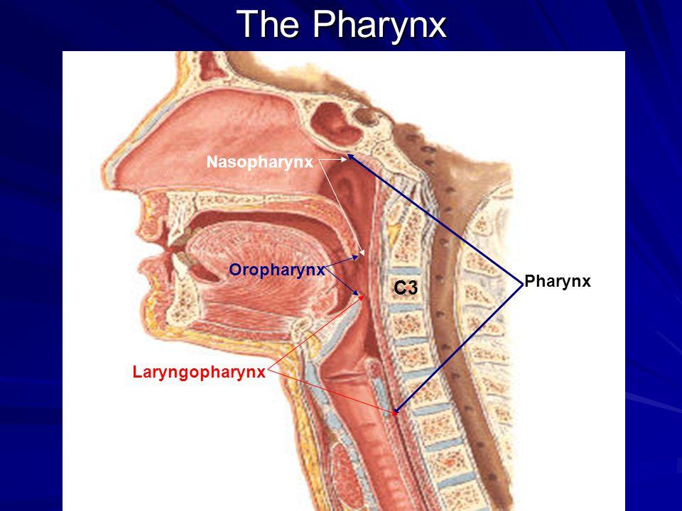 GROSS ANATOMY OF THE NASAL CAVITY & THE PHARYNX - ppt video online ...
