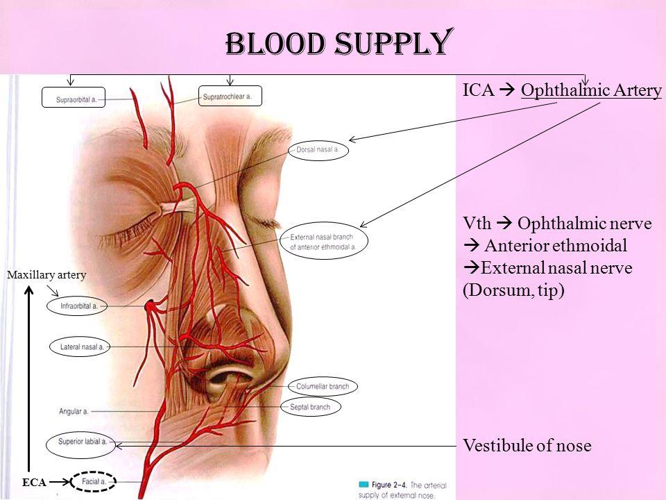 Embryological Development Anatomy Of Nose Ppt Video Online Download