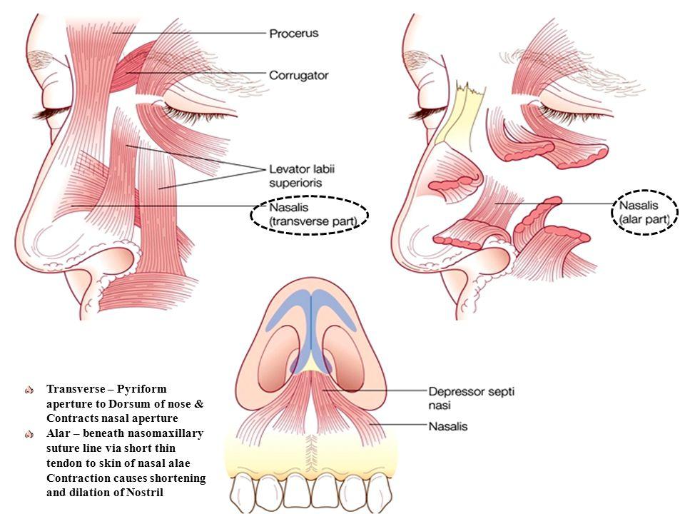 EMBRYOLOGICAL DEVELOPMENT & ANATOMY OF NOSE - ppt video online download