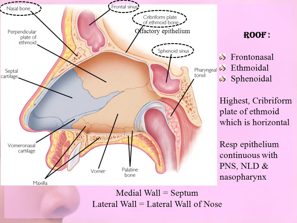 Embryological Development Anatomy Of Nose Ppt Video Online Download