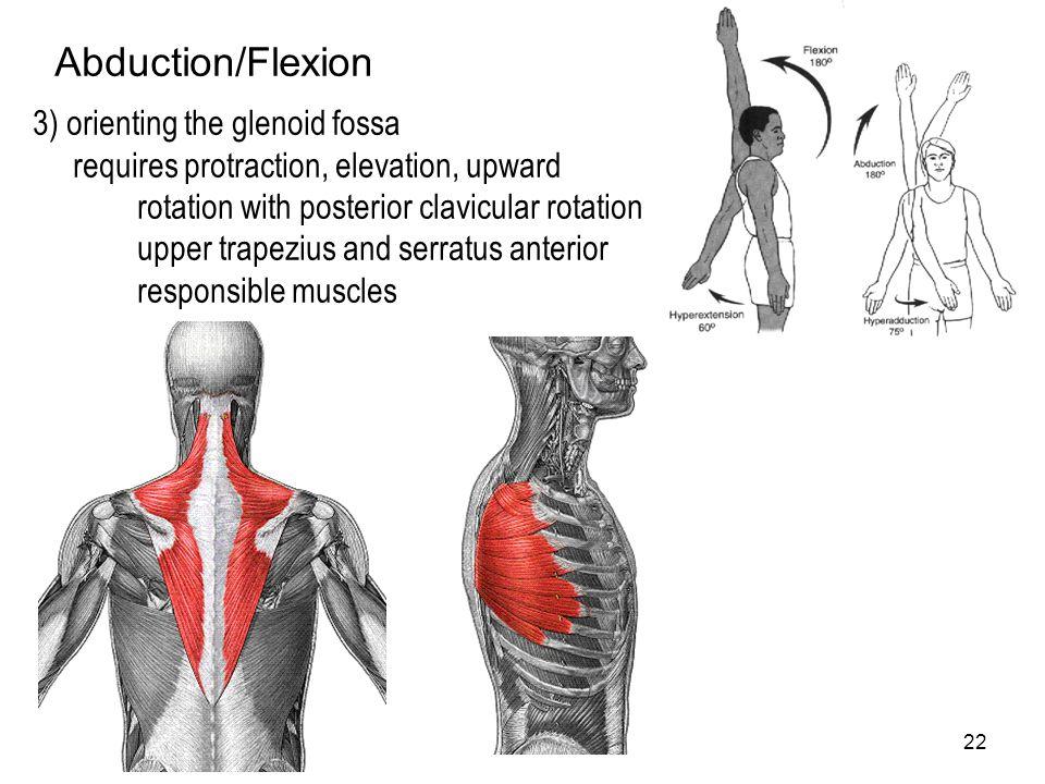 Upper Extremity Shoulder Complex Elbow Wrist (Hand) Shoulder. - ppt ...