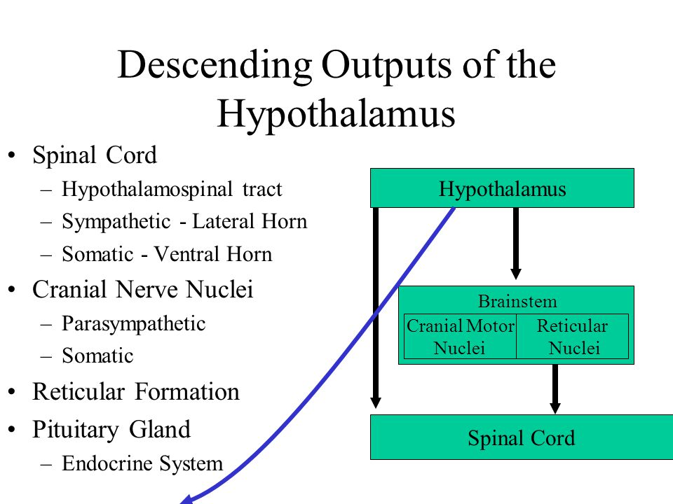 The Hypothalamus Anatomy and Function. - ppt video online download