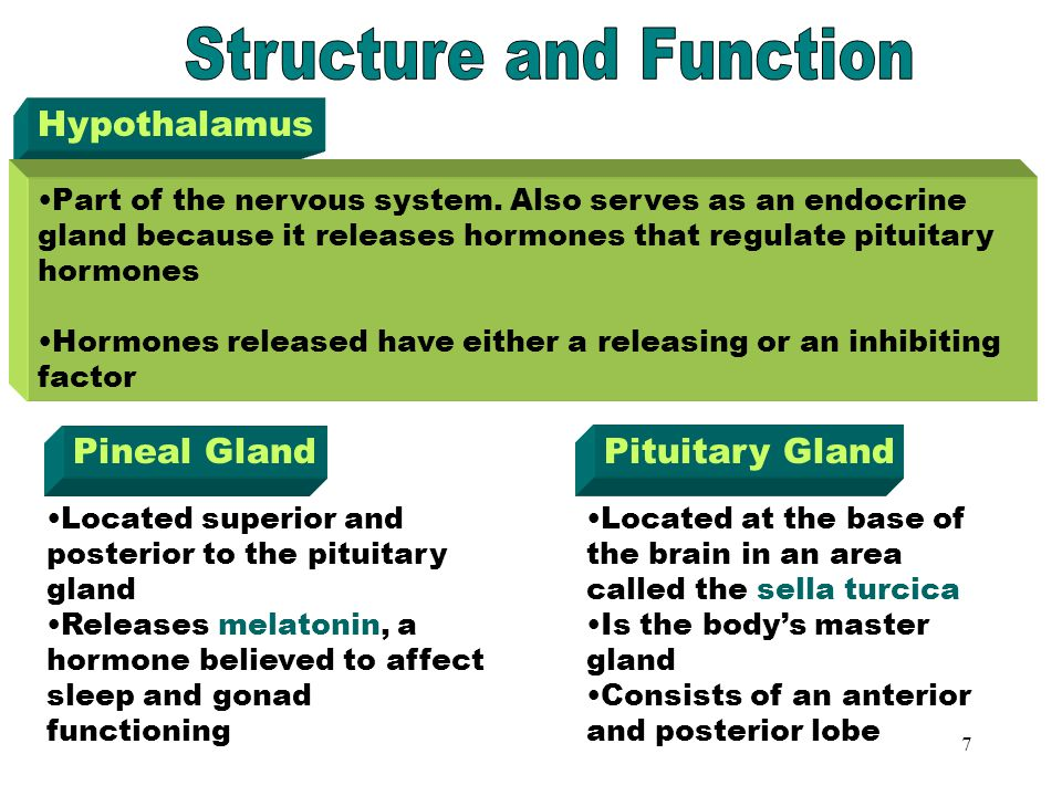 The Endocrine System The Endocrine System Hypothalamus Pineal gland ...