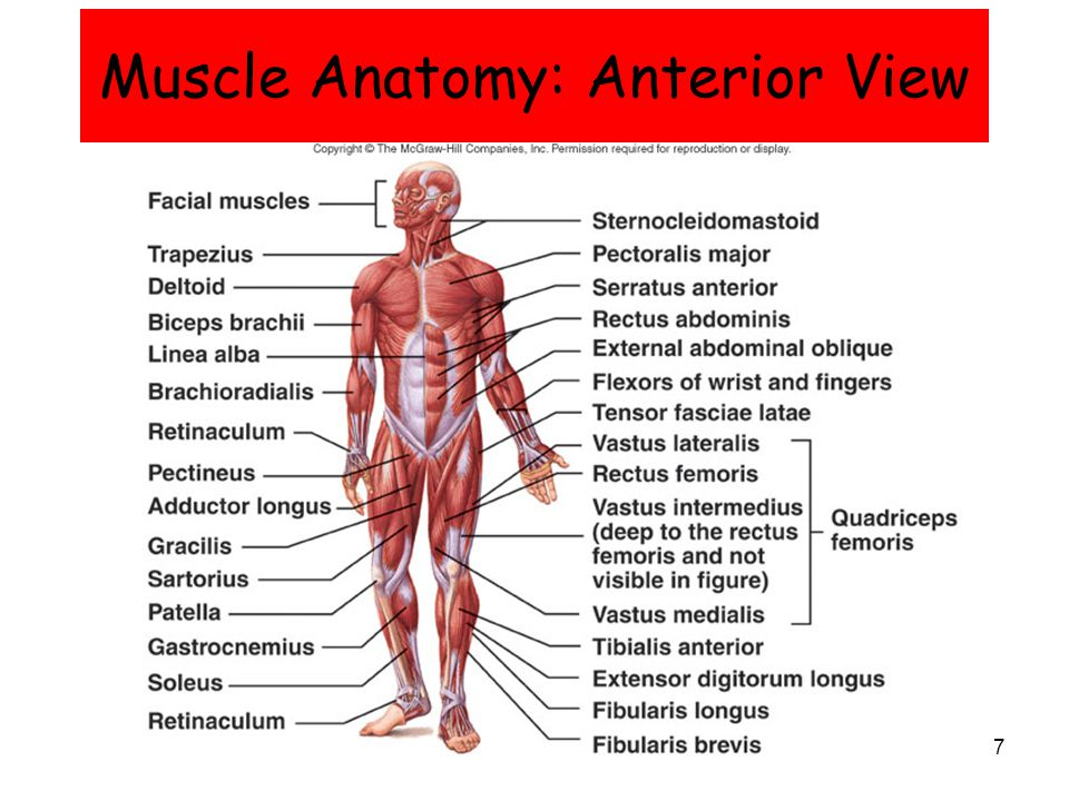 Muscular System Anterior Diagram Face - DIY Enthusiasts Wiring ...