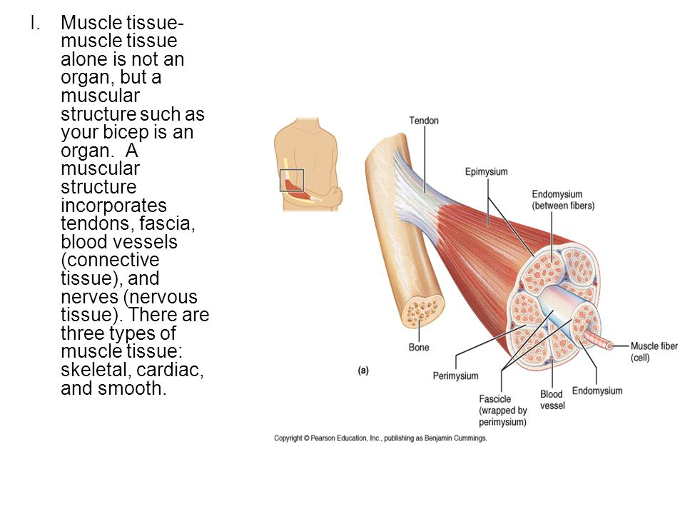Muscle Tissue Anatomy 32 Chapter Ppt Video Online Download
