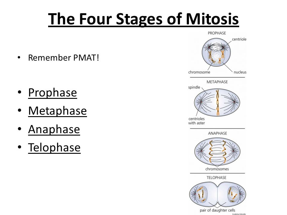 four phases of mitosis