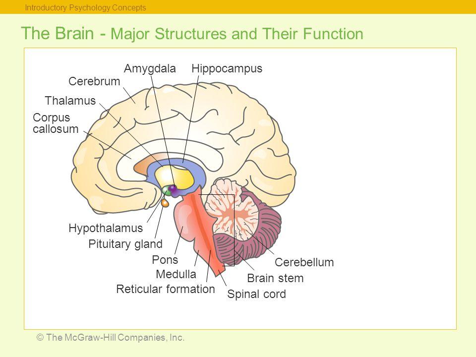 Cerebrum Thalamus Amygdala Diagram Circuit Connection Diagram
