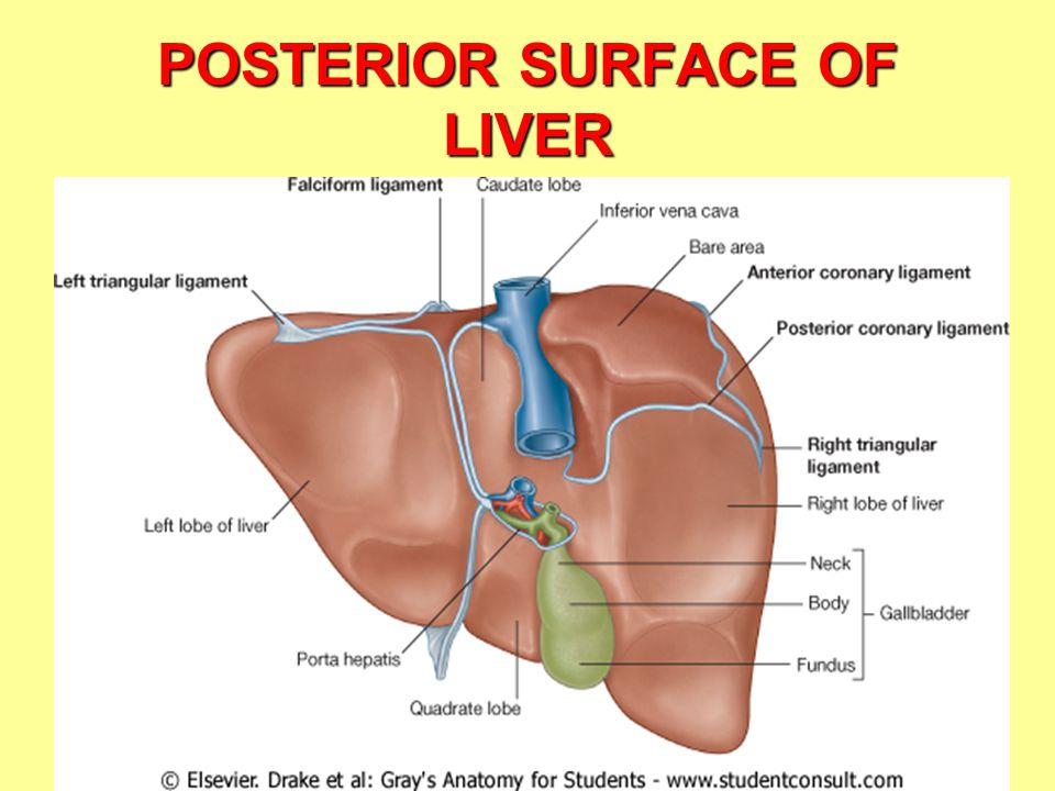 Vistoso Liver Anatomy Ppt Viñeta - Imágenes de Anatomía Humana ...