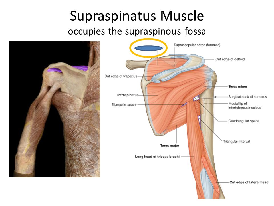Deltoid Muscle Anterior Posterior Ppt Video Online Download