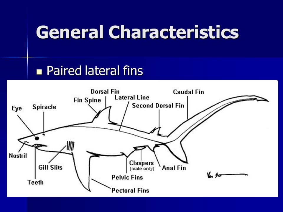 Chondrichthyes Diagram Skeletal - All Kind Of Wiring Diagrams •
