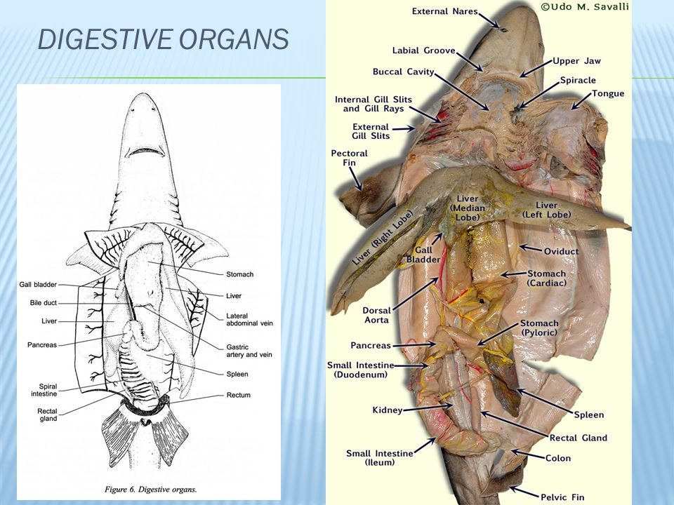 Shark dissection Squalus acanthias - ppt video online download