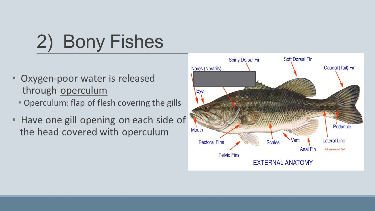 Biology Of Fishes Lesson Ppt Video Online Download Fish Anatomy Diagram Gills A 1 2 Bony Oxygen Poor Water Is Released Through Operculum 22 Peduncle 23 External
