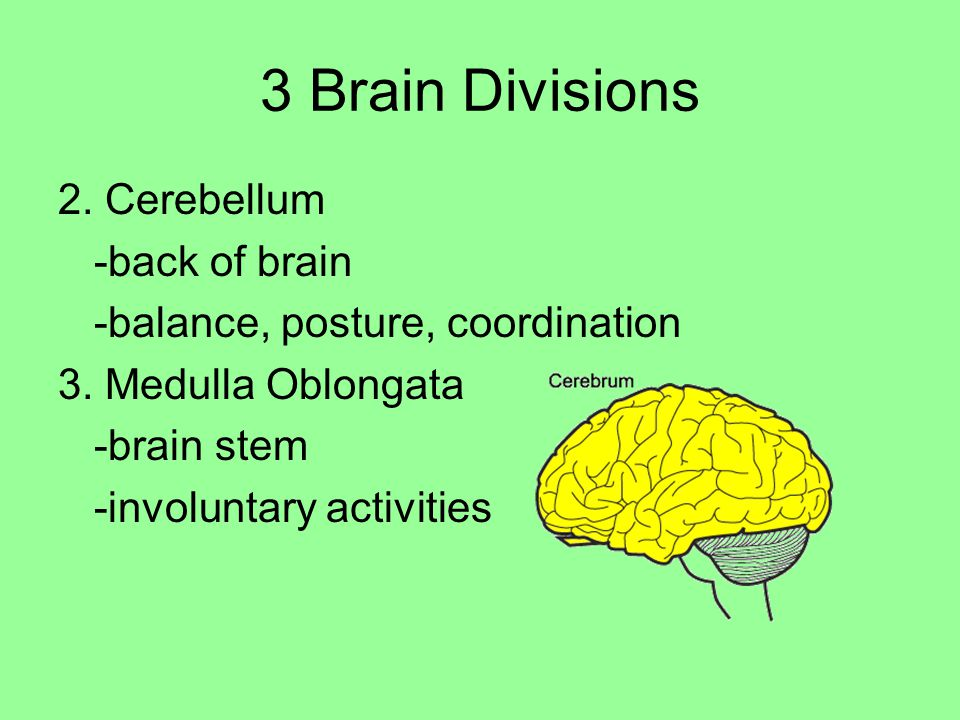 3 Brain Divisions 2. Cerebellum -back of brain