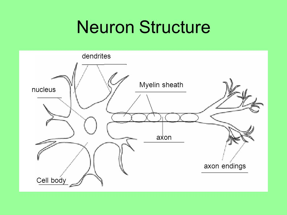 Neuron Structure dendrites Myelin sheath nucleus axon axon endings