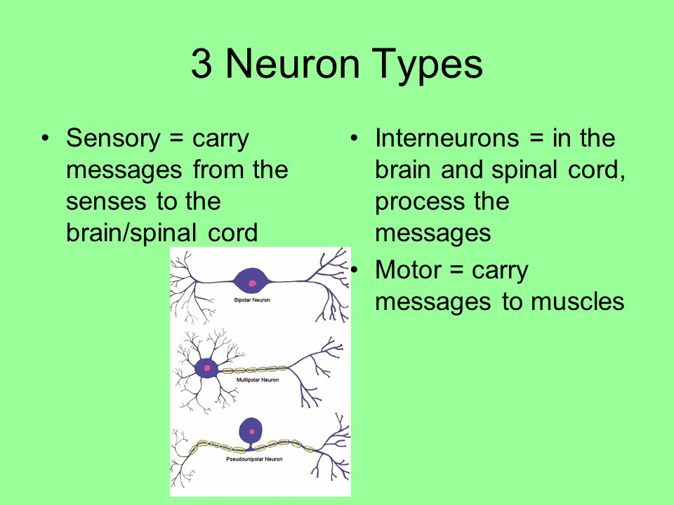 3 Neuron Types Sensory = carry messages from the senses to the brain/spinal cord. Interneurons = in the brain and spinal cord, process the messages.