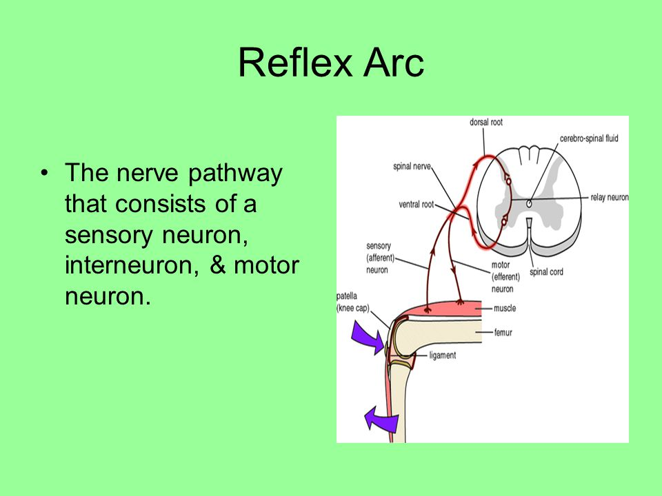 Reflex Arc The nerve pathway that consists of a sensory neuron, interneuron, & motor neuron.