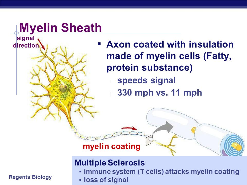 Myelin Sheath signal. direction. Axon coated with insulation made of myelin cells (Fatty, protein substance)