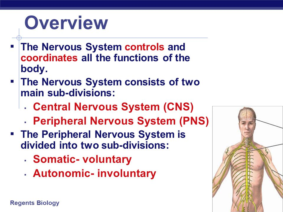 Overview Central Nervous System (CNS) Peripheral Nervous System (PNS)