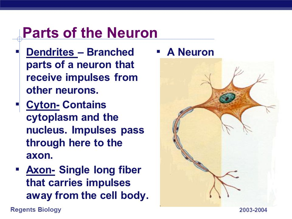Parts of the Neuron Dendrites – Branched parts of a neuron that receive impulses from other neurons.