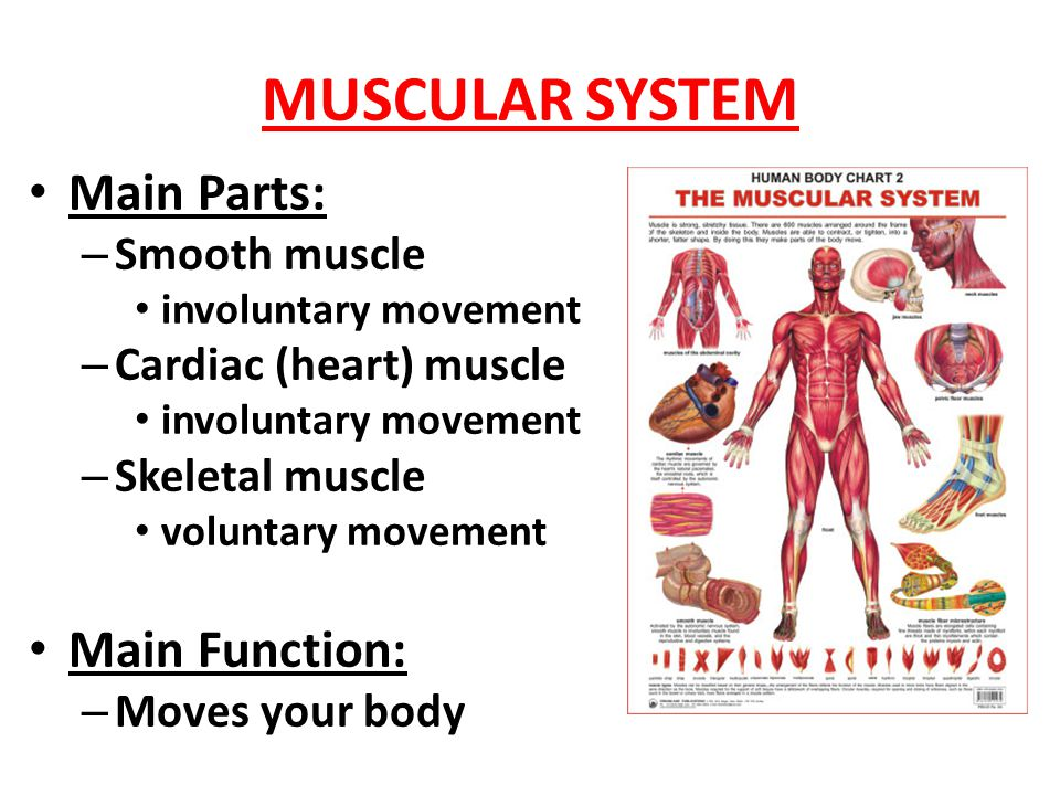 Modern Parts Of Muscular System Pictures - Anatomy And Physiology ...