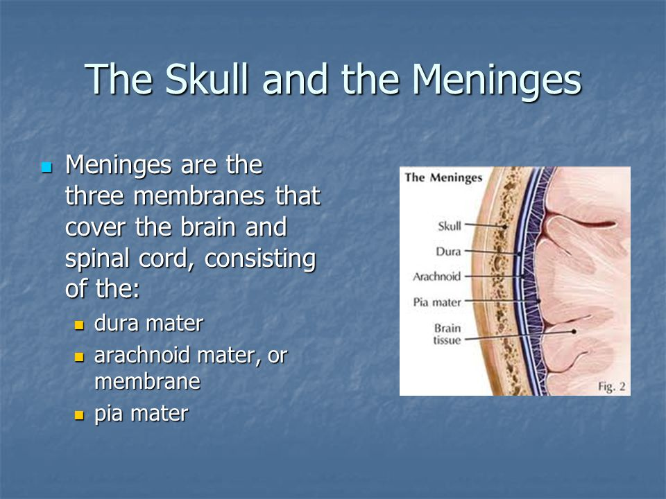 The Skull and the Meninges