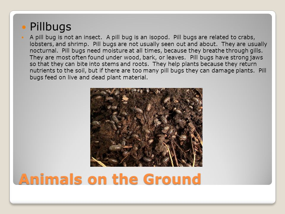 Roly Poly Pill Bugs as well  moreover Organisms    ppt download further 100  Roly Poly Bug Facts Sciencing  Meet The Roly Poly Aka Pill Bug moreover Pill bug Printout  EnchantedLearning additionally Organisms    ppt download further  likewise Roly Poly Science Lab  pill bug  isopods  by Jacque Rice   TpT besides  as well  furthermore Worksheet Preview Blended Worksheets   Wizer me likewise  further  besides Roly Poly Pill Bugs in addition Roly Poly Pill Bugs as well Pill Bugs Teaching Resources   Teachers Pay Teachers. on roly poly pill bugs worksheet