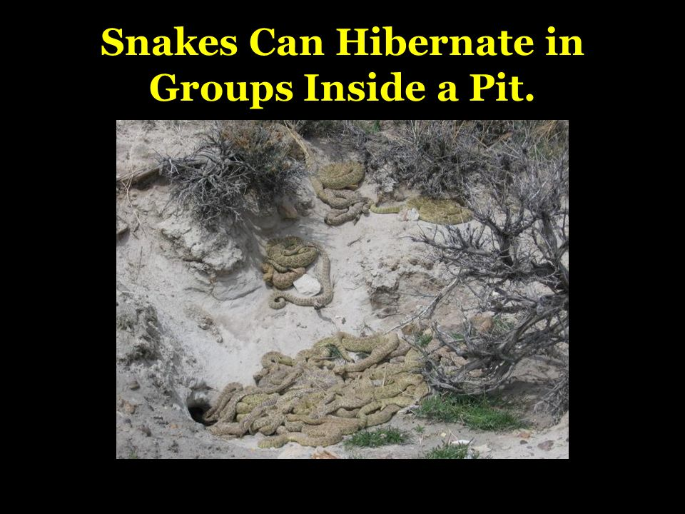 Snakes Can Hibernate in Groups Inside a Pit.