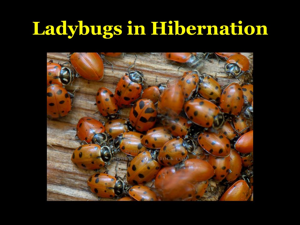 Ladybugs in Hibernation