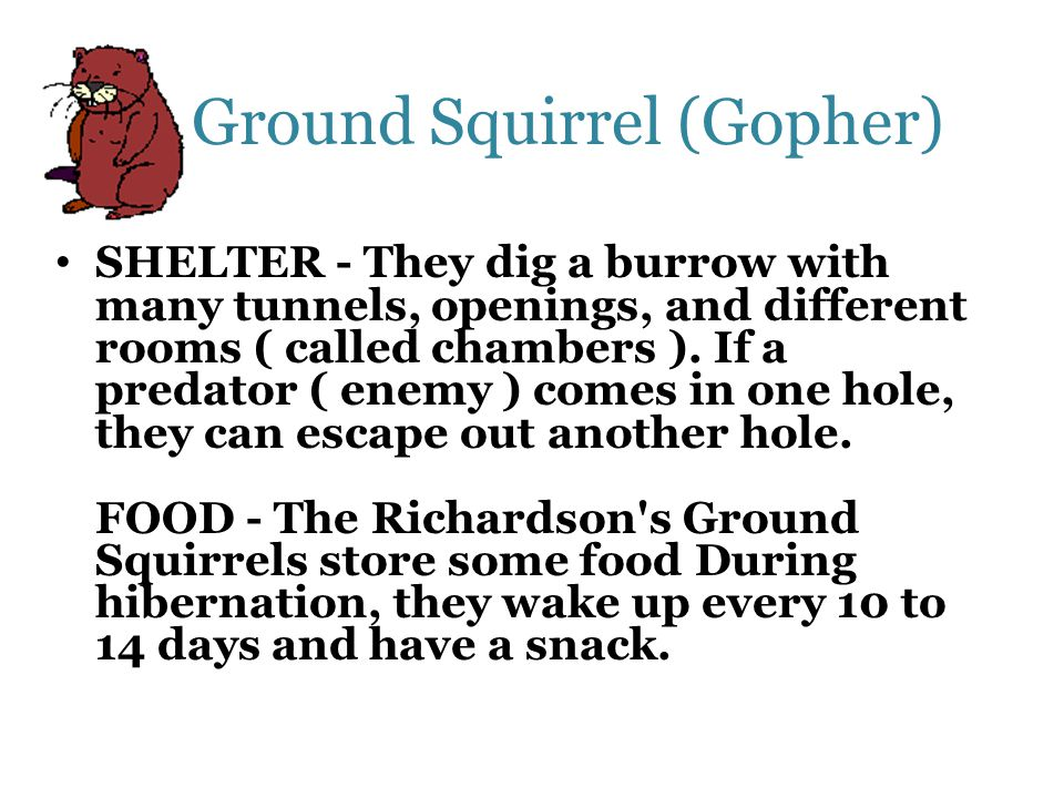 Ground Squirrel (Gopher)