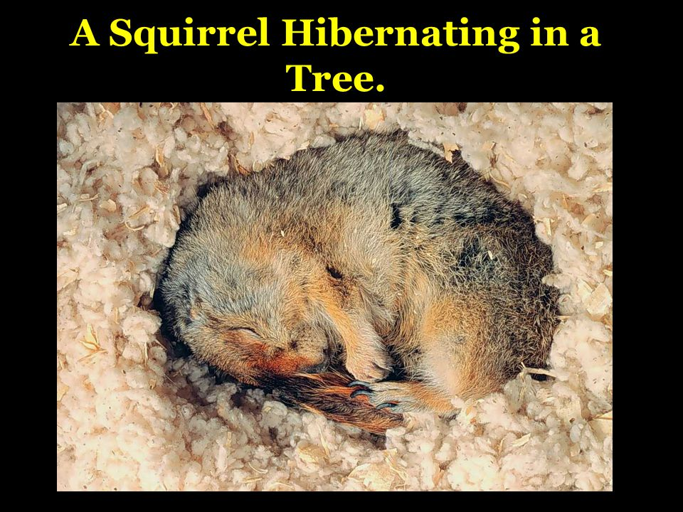 A Squirrel Hibernating in a Tree.