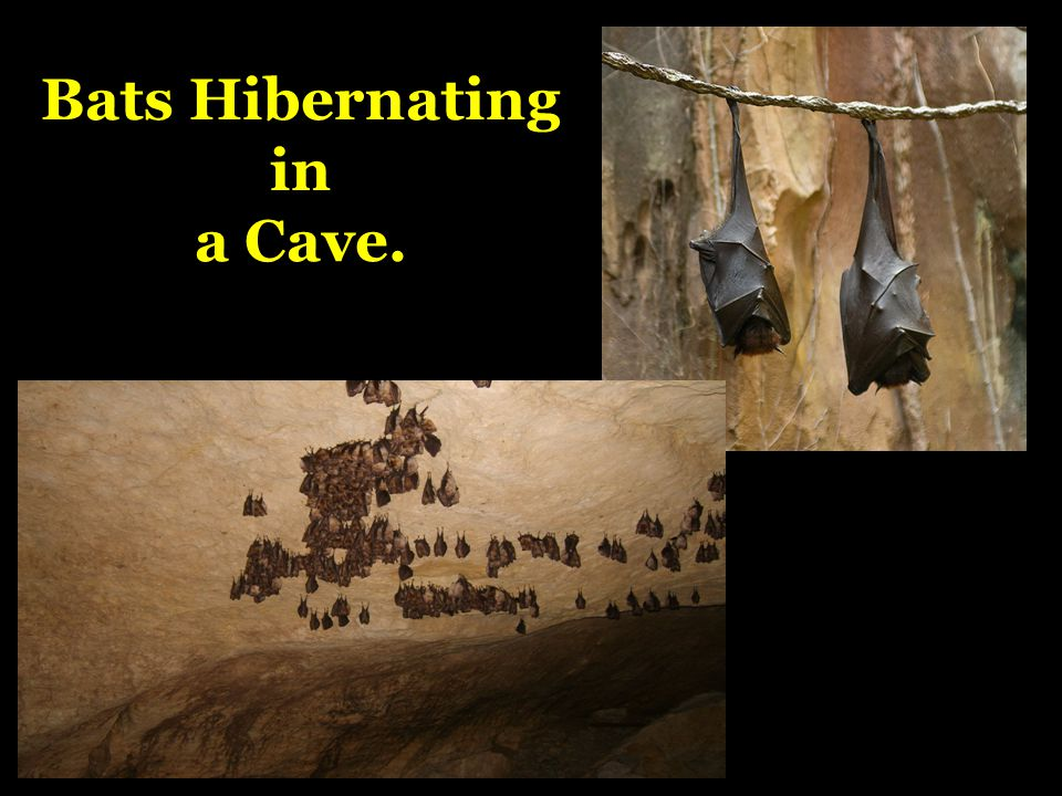 Bats Hibernating in a Cave.