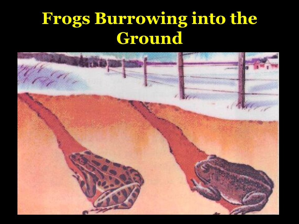 Frogs Burrowing into the Ground