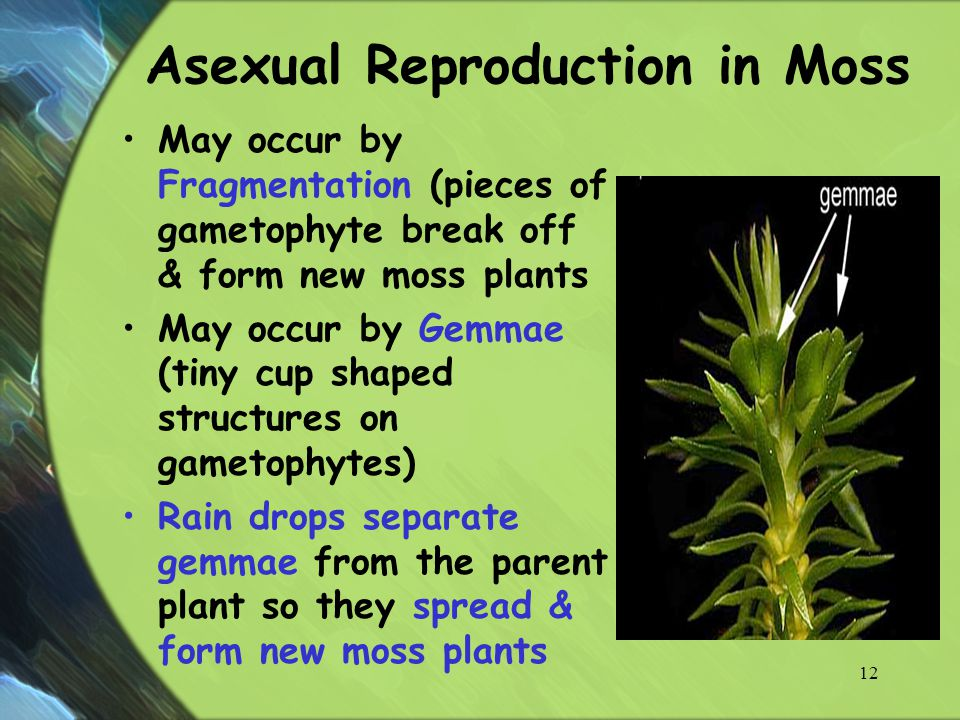 Mosses asexual reproduction video